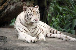 Tigre blanc du zoo des trois vallées
