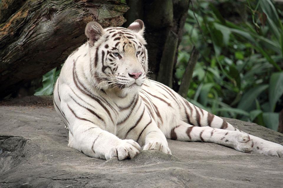 white-tiger-1513723_960_720